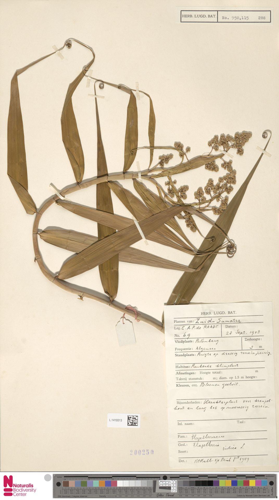 L.1419313 | Flagellaria indica L.