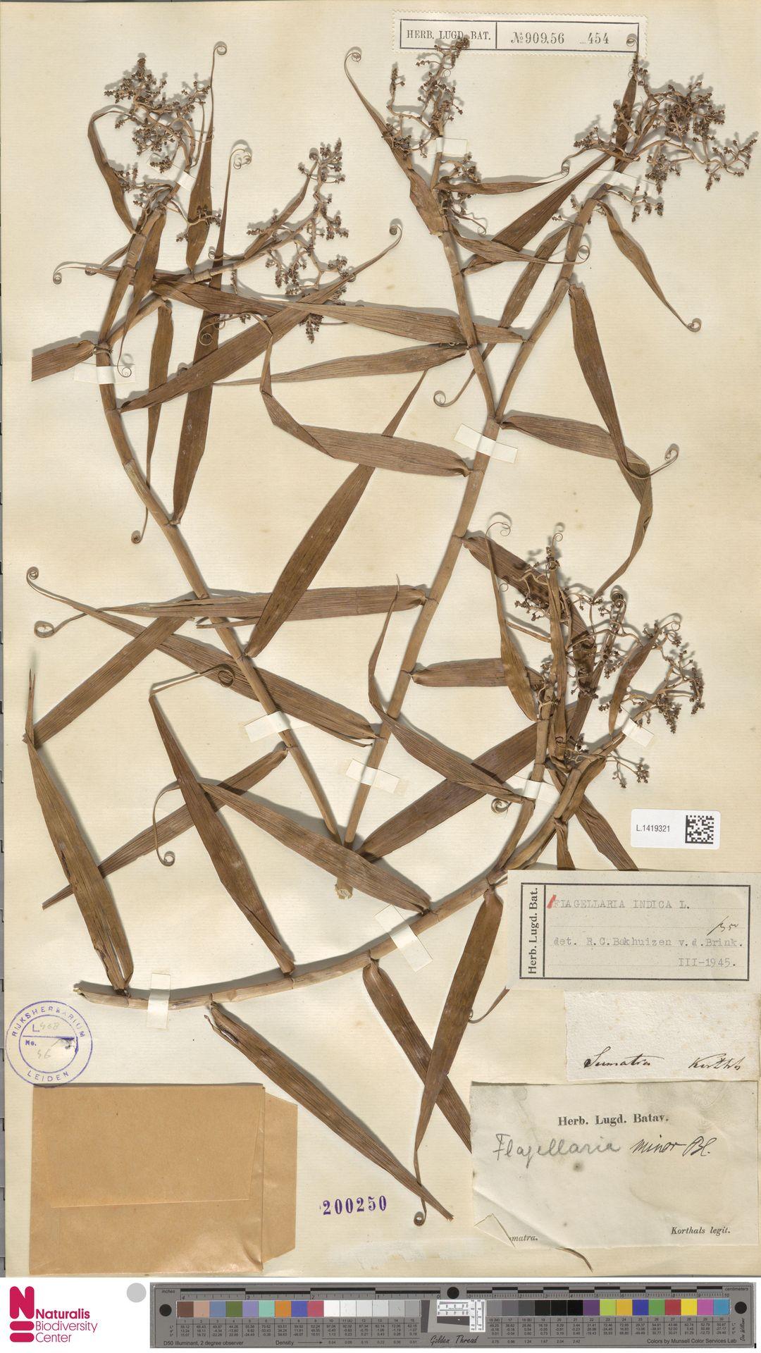 L.1419321 | Flagellaria indica L.