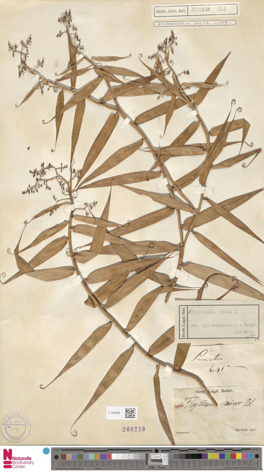 L.1419322   Flagellaria indica L.