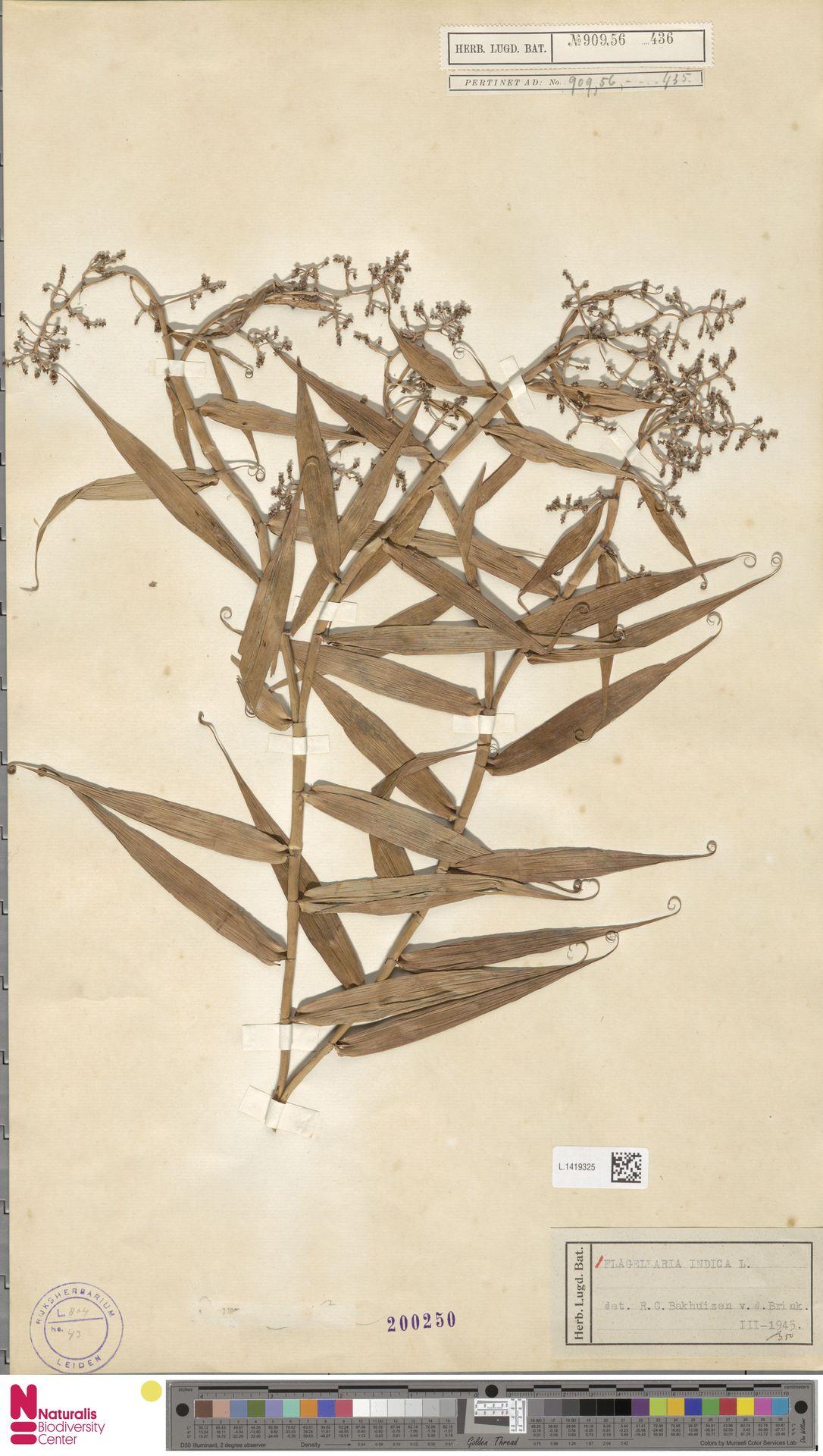 L.1419325 | Flagellaria indica L.