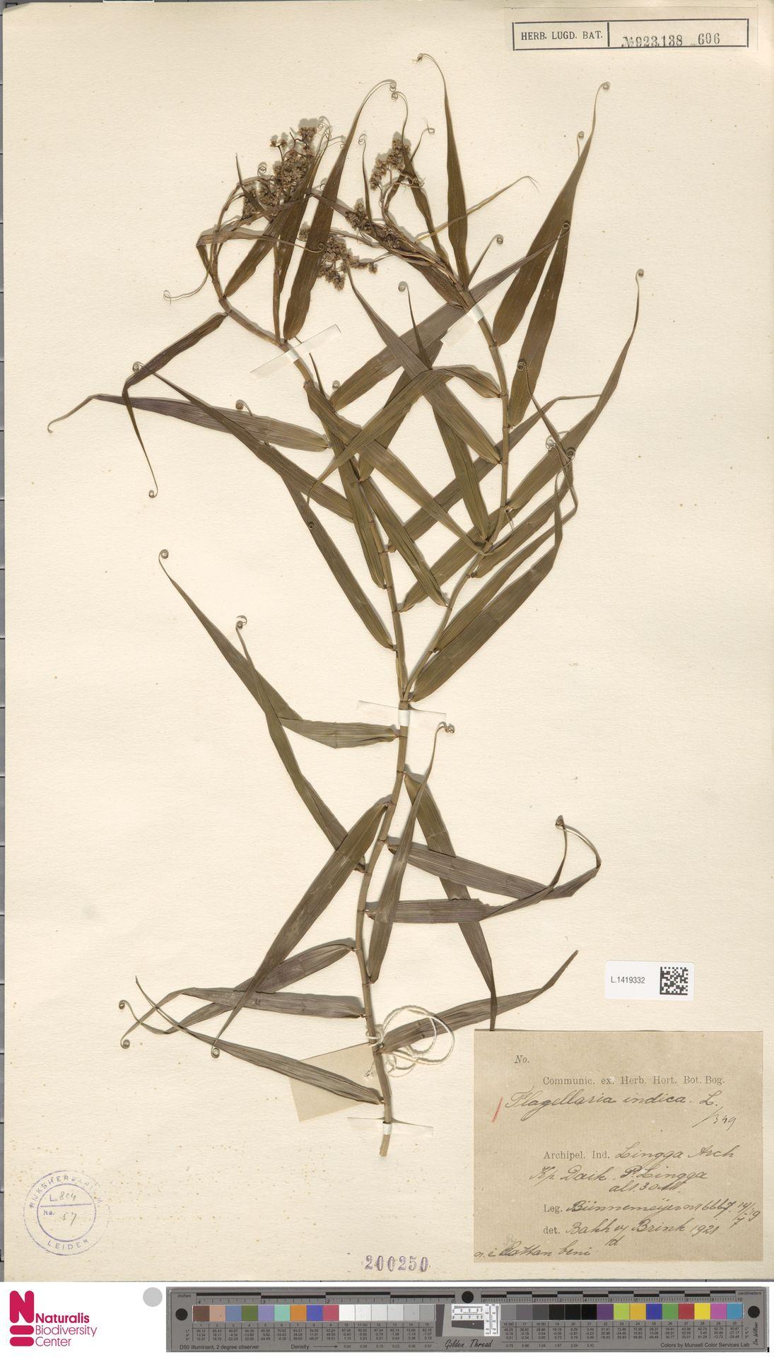 L.1419332 | Flagellaria indica L.