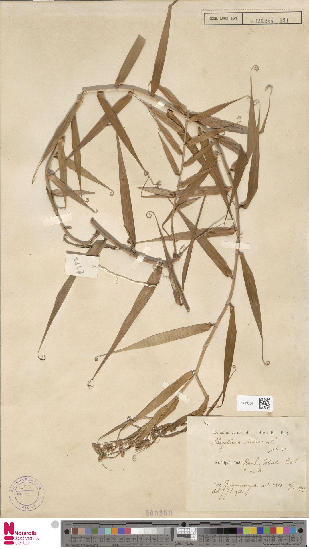 L.1419334 | Flagellaria indica L.