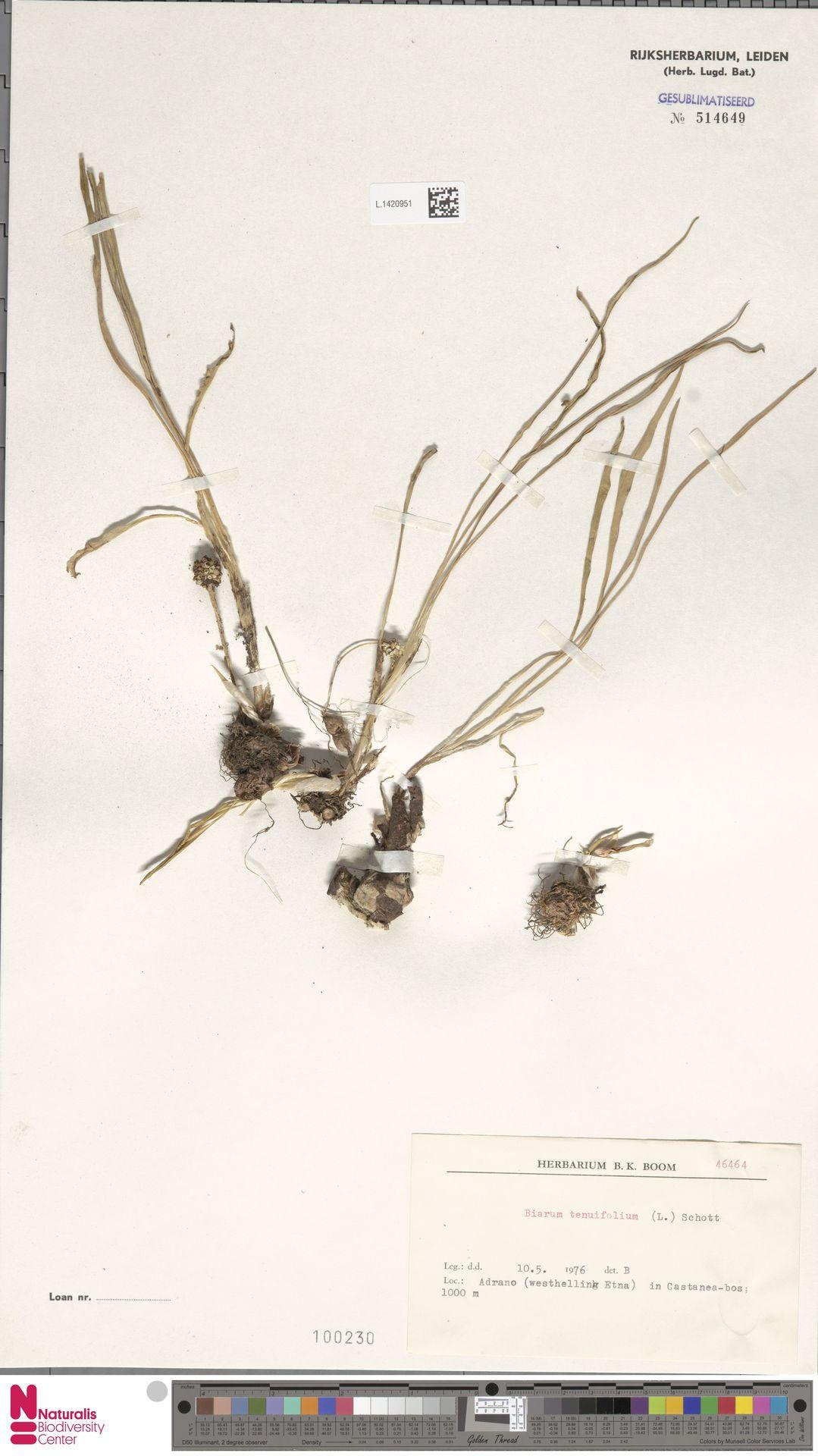 L.1420951 | Biarum tenuifolium (L.) Schott