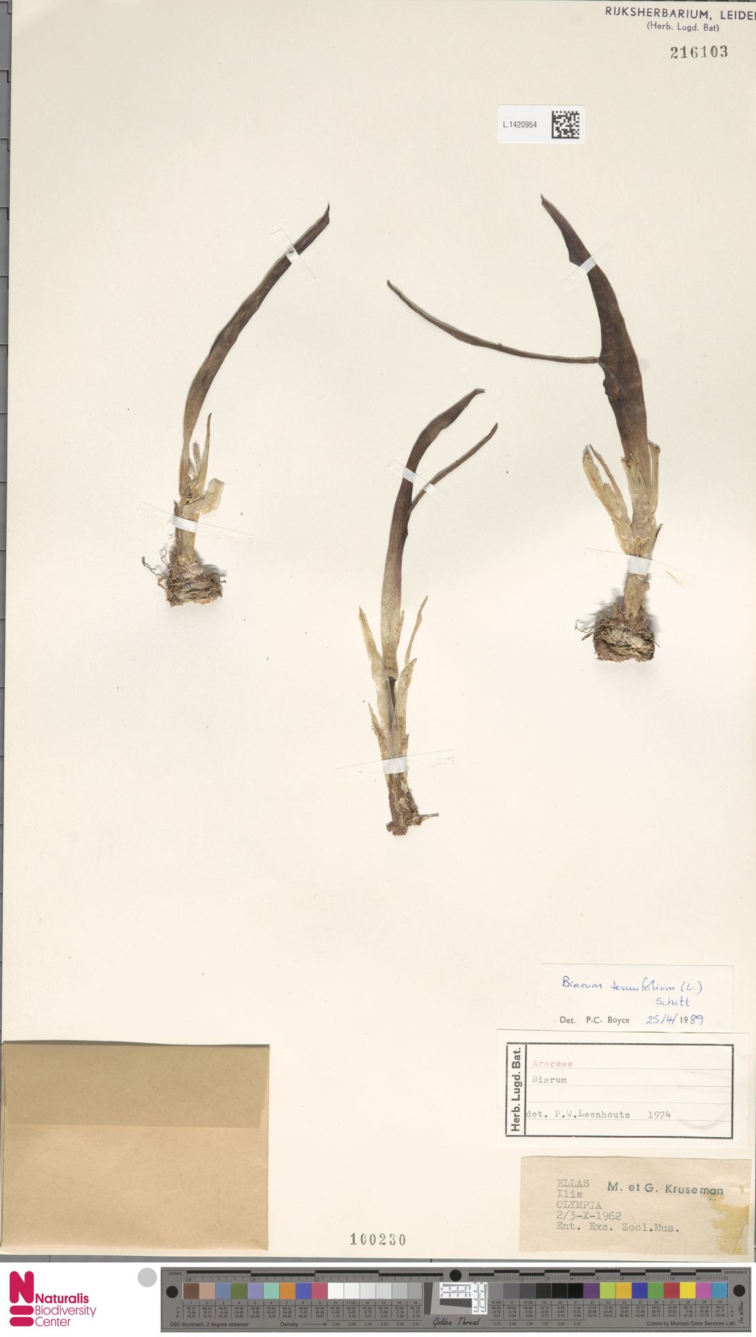 L.1420954 | Biarum tenuifolium (L.) Schott