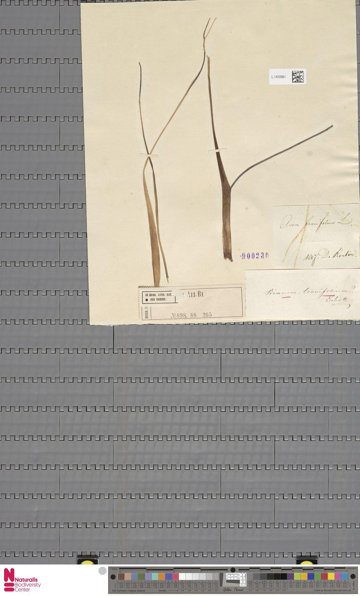L.1420961   Biarum tenuifolium (L.) Schott