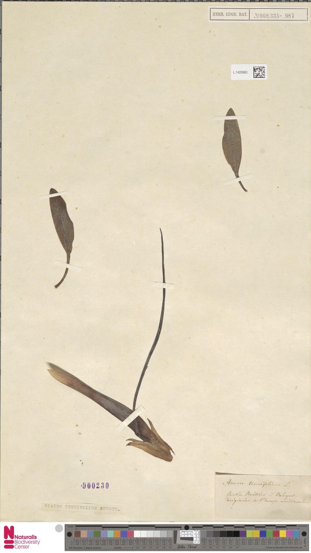 L.1420963   Biarum tenuifolium (L.) Schott