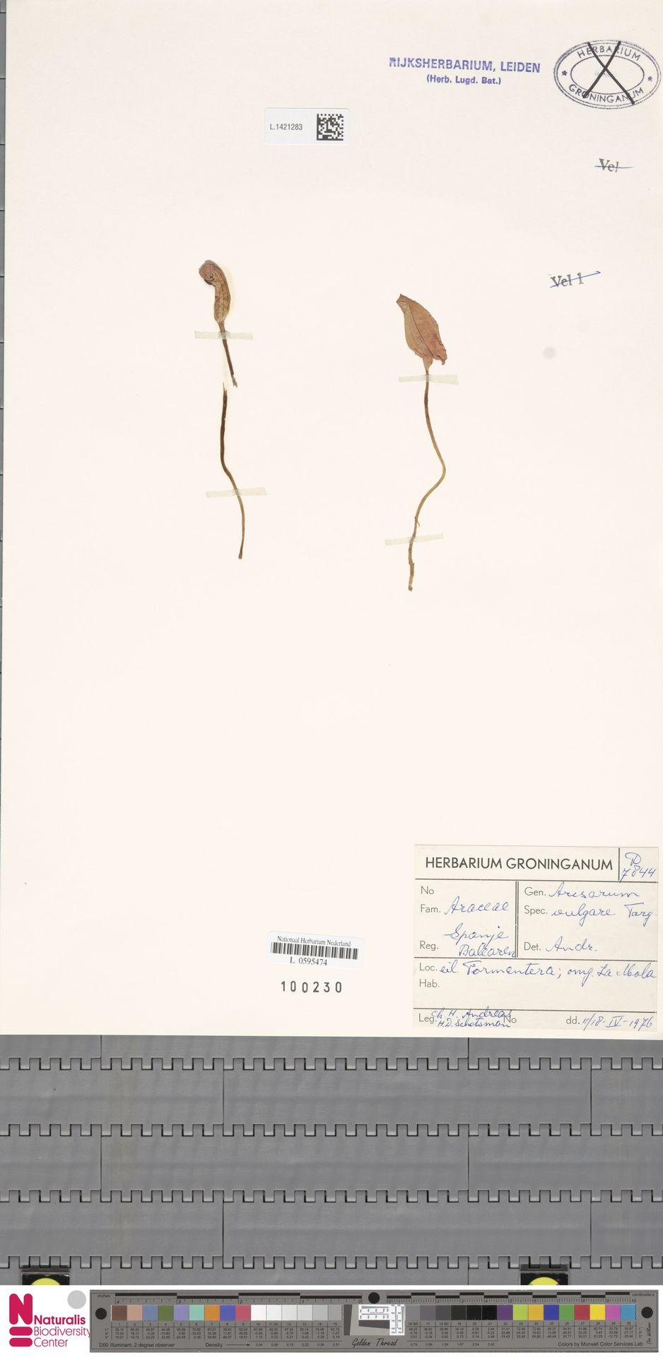 L.1421283 | Arisarum vulgare O.Targ.Tozz.