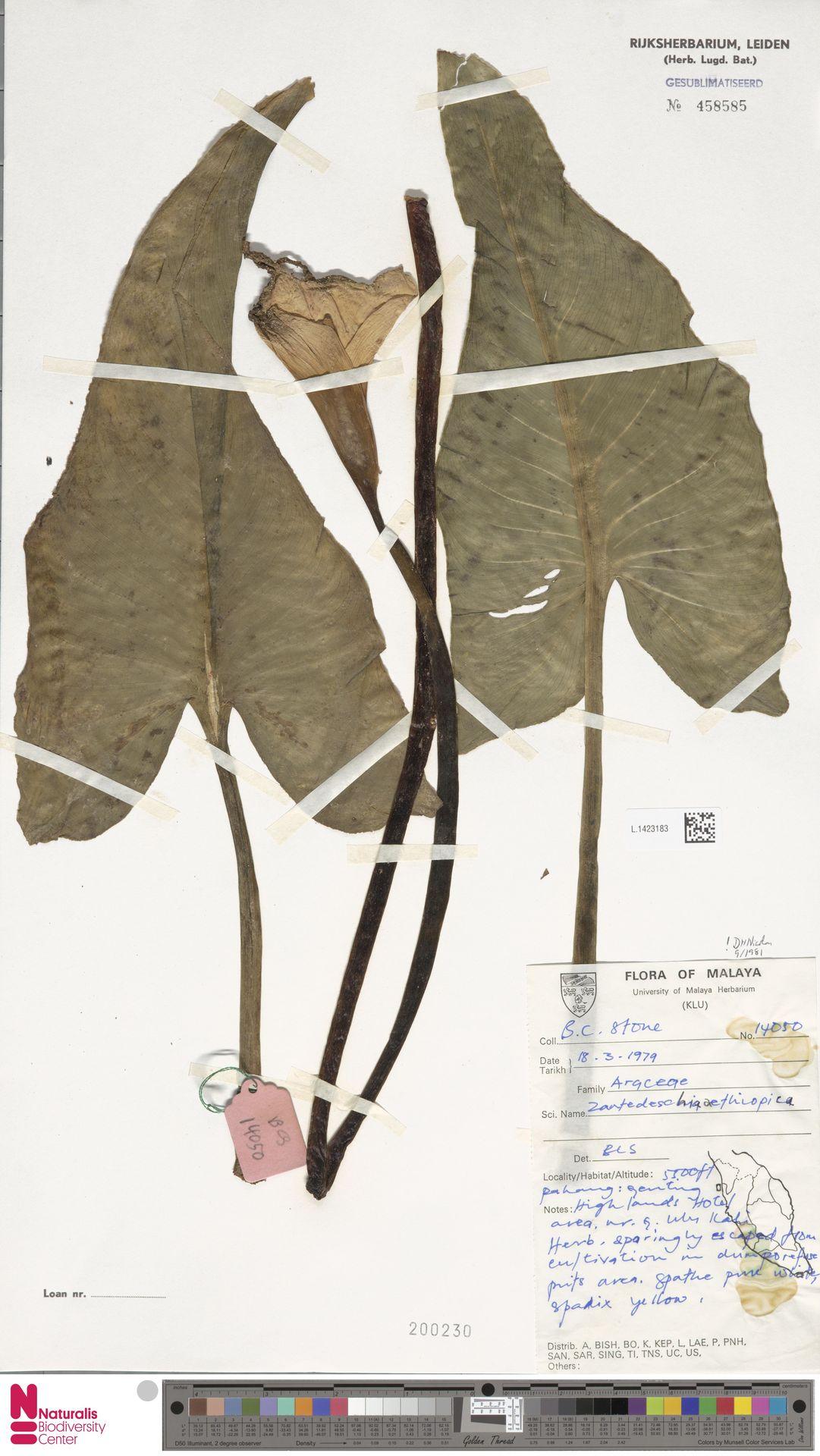L.1423183 | Zantedeschia aethiopica (L.) Spreng.