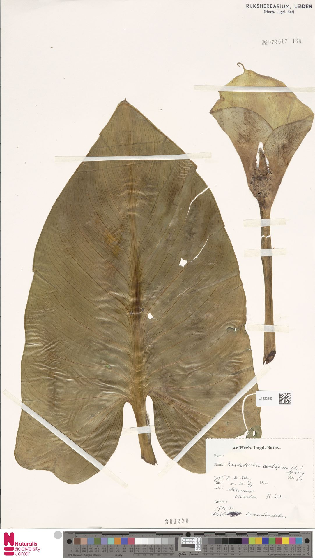L.1423185 | Zantedeschia aethiopica (L.) Spreng.