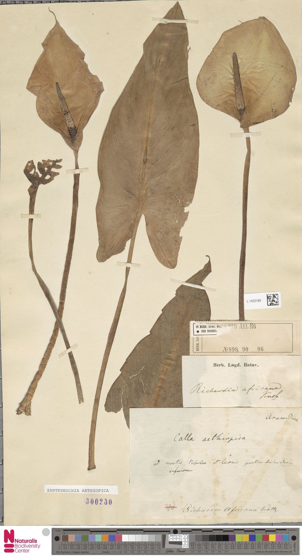 L.1423189 | Zantedeschia aethiopica (L.) Spreng.