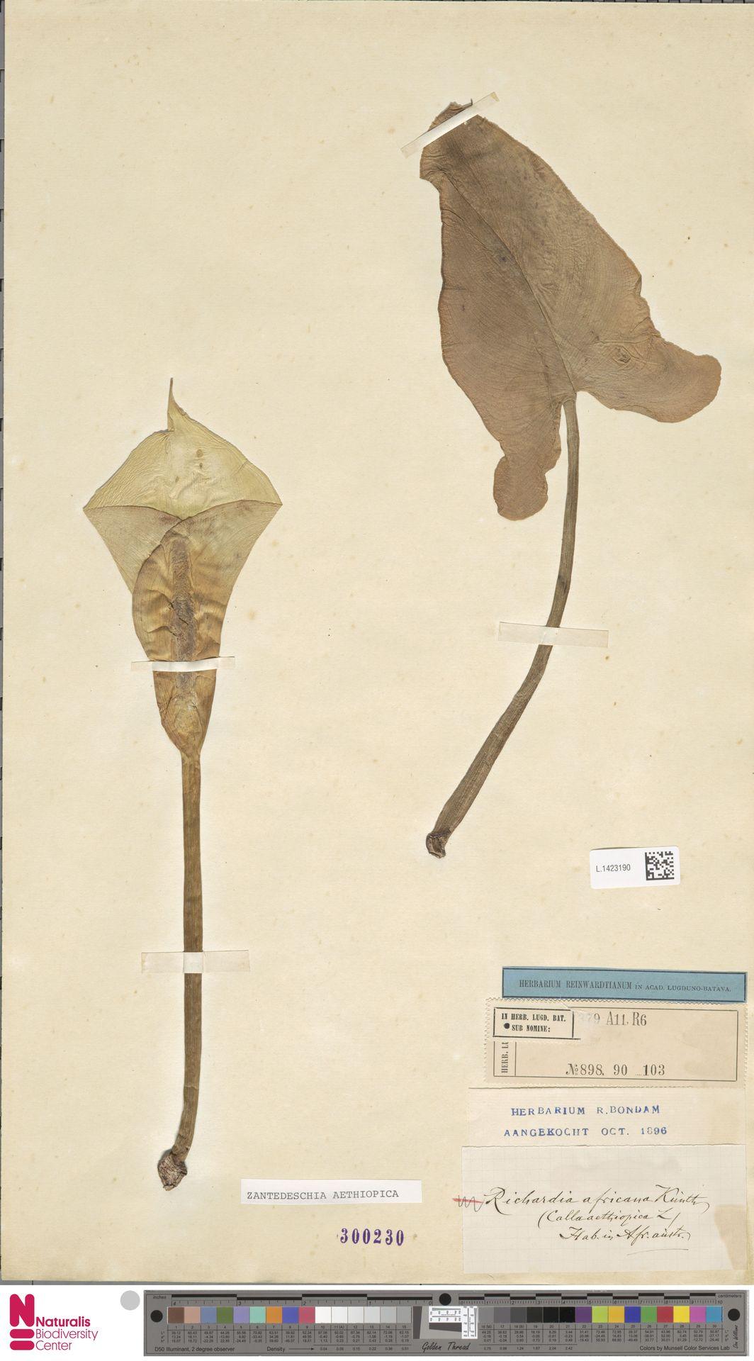 L.1423190 | Zantedeschia aethiopica (L.) Spreng.