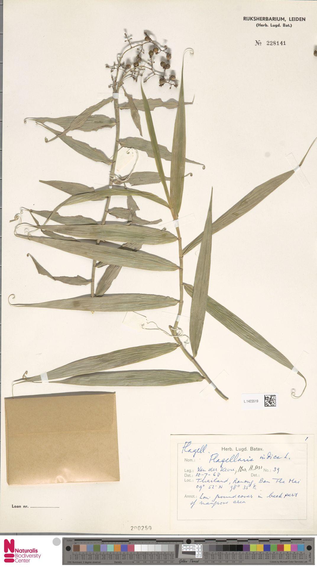 L.1423519 | Flagellaria indica L.
