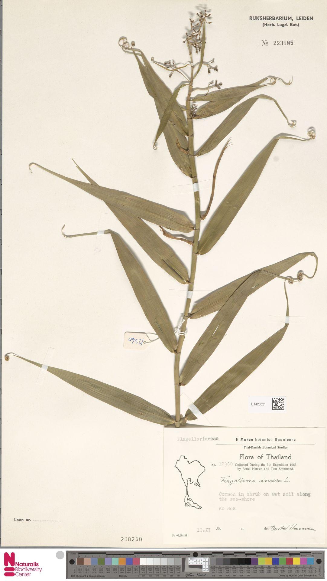 L.1423521 | Flagellaria indica L.