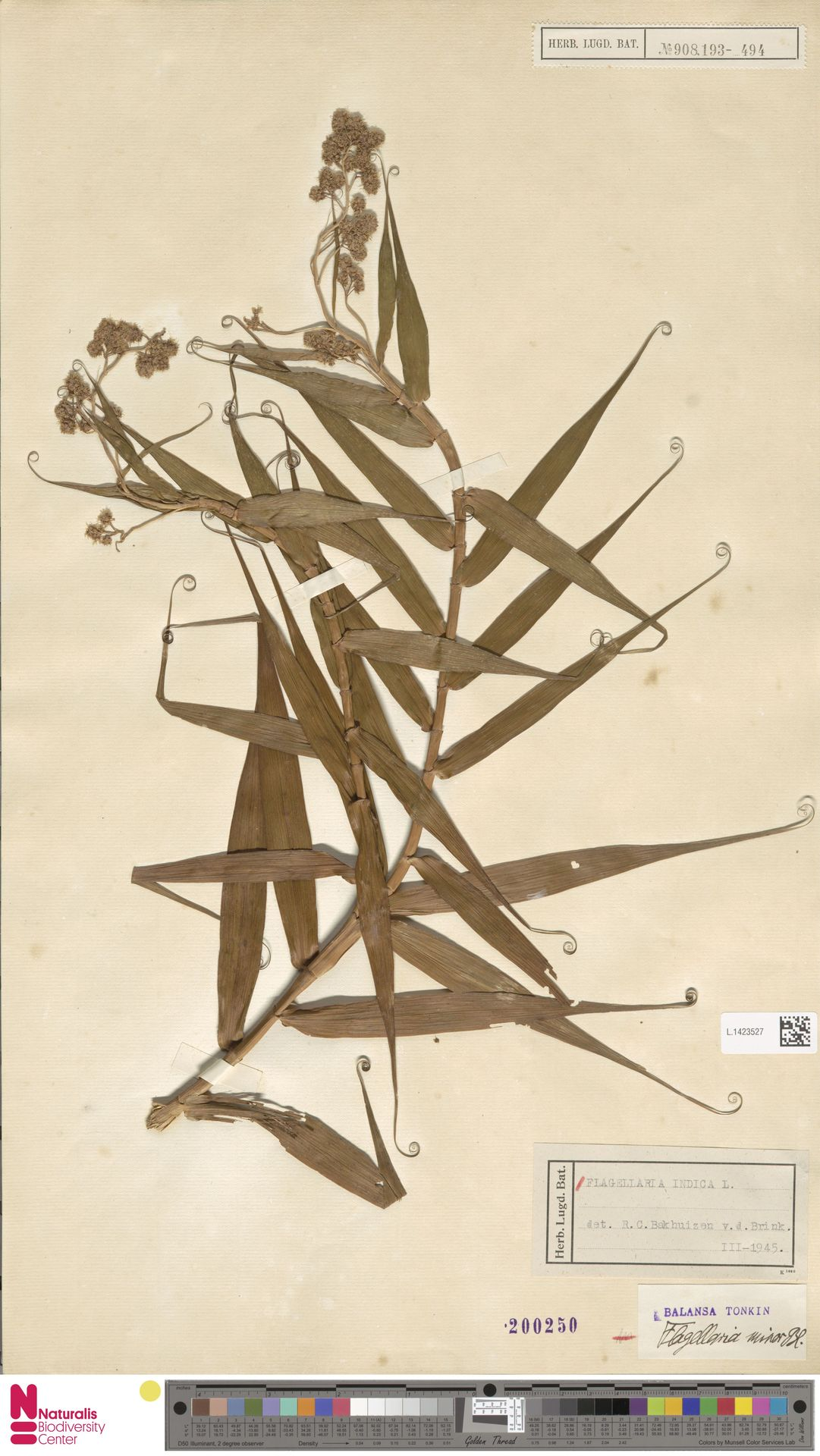 L.1423527   Flagellaria indica L.