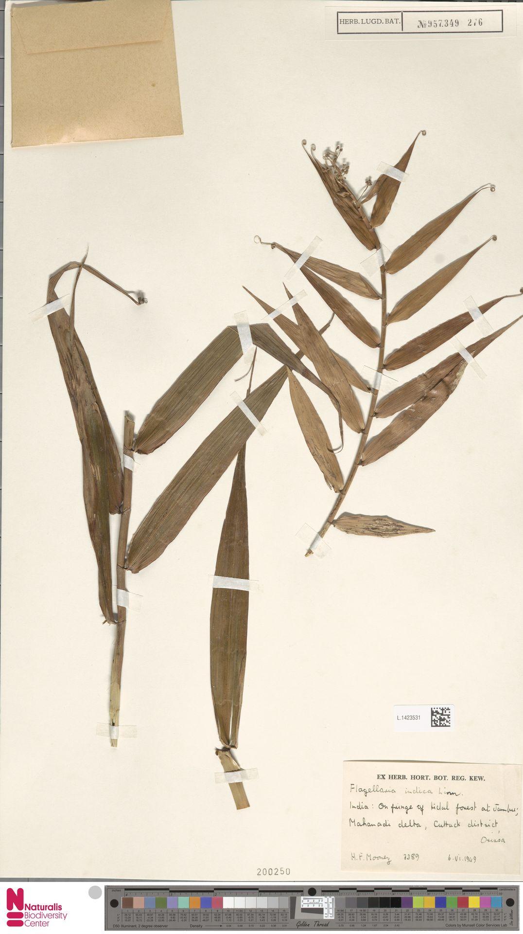 L.1423531 | Flagellaria indica L.