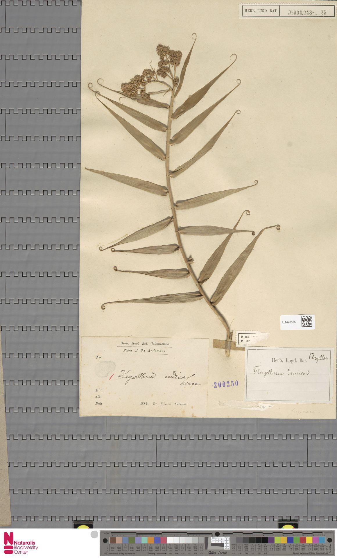 L.1423535   Flagellaria indica L.