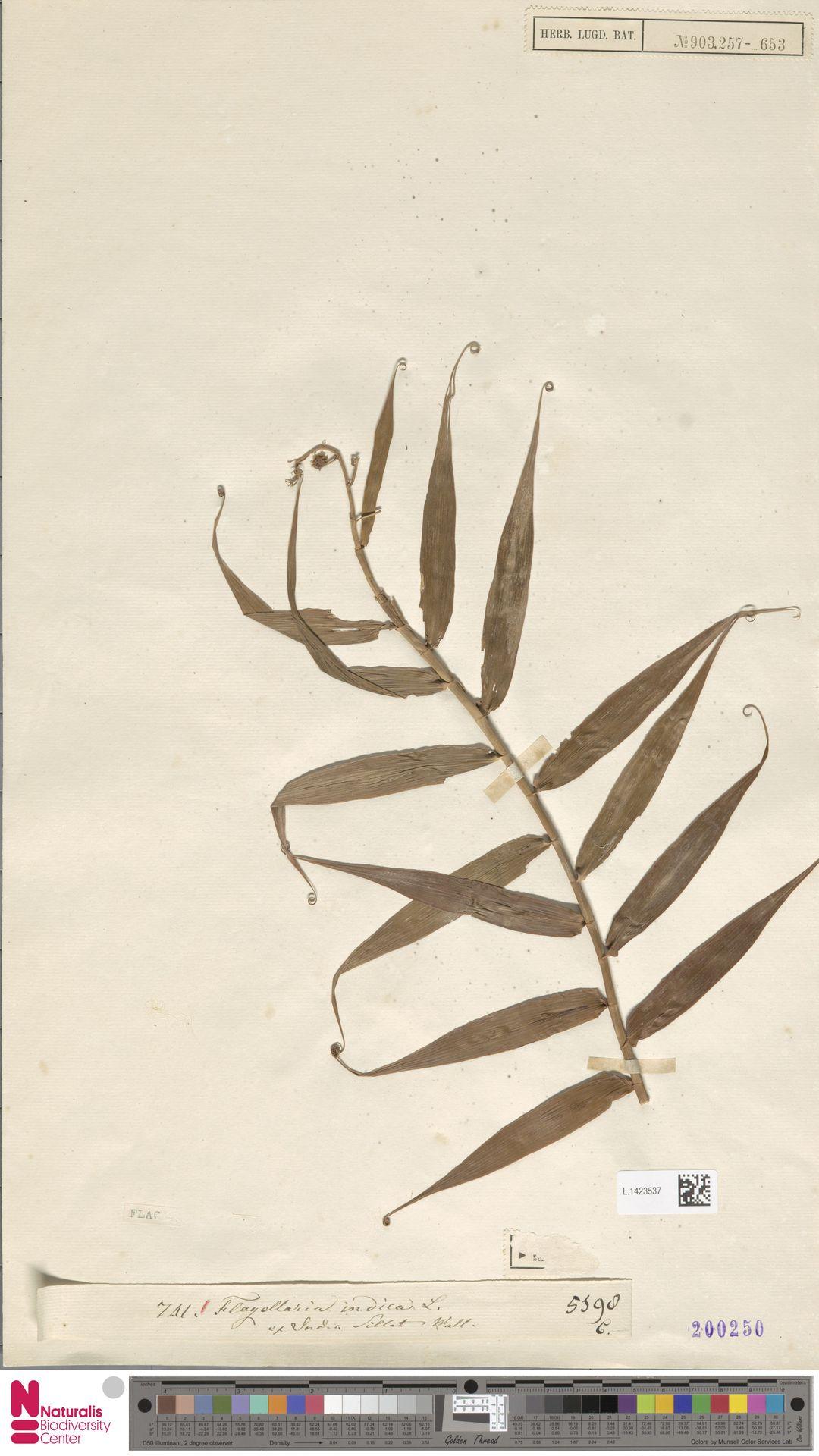 L.1423537 | Flagellaria indica L.