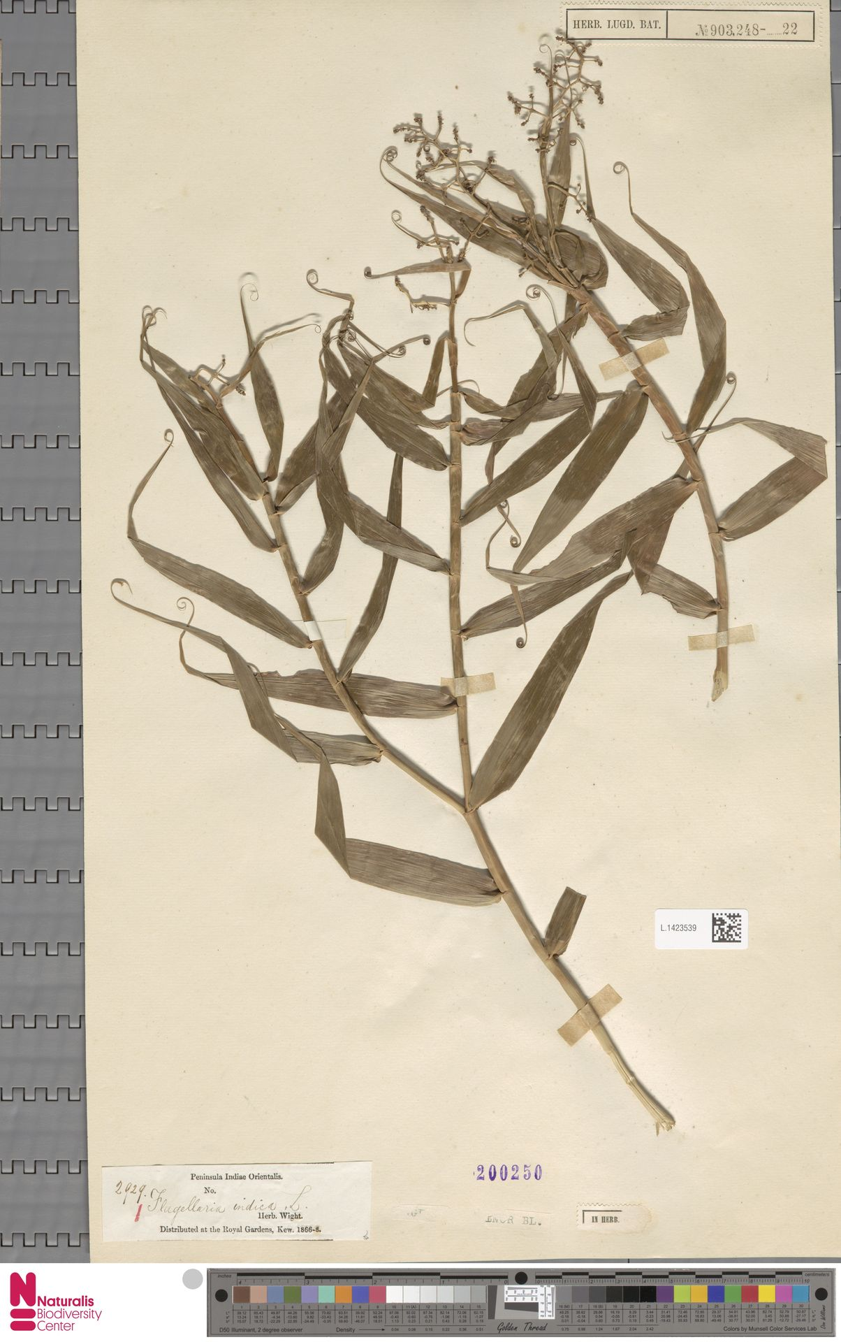 L.1423539   Flagellaria indica L.