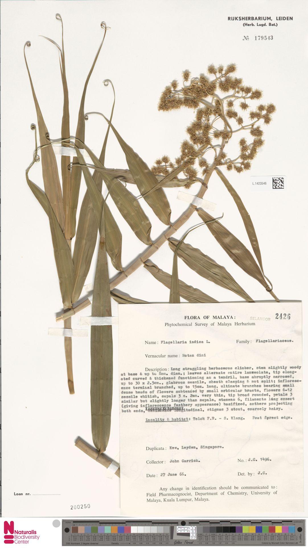 L.1423546 | Flagellaria indica L.