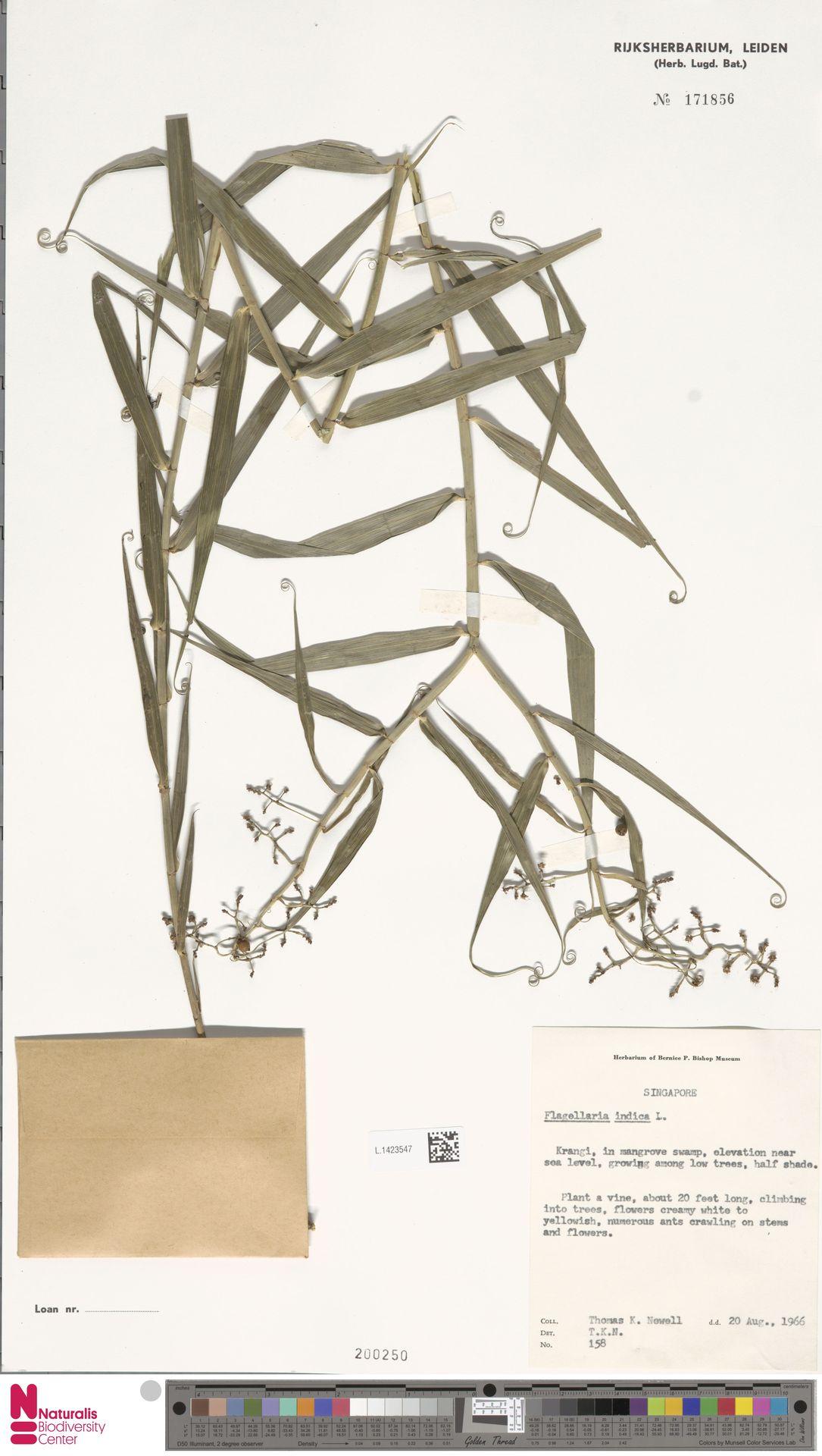 L.1423547 | Flagellaria indica L.