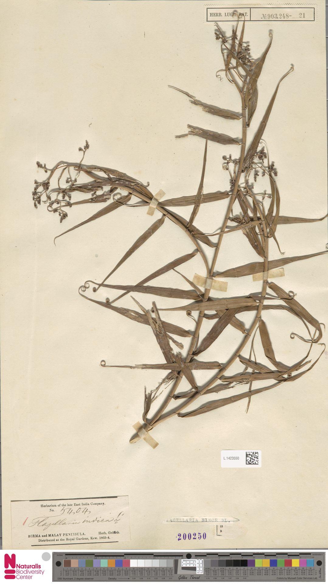 L.1423550 | Flagellaria indica L.