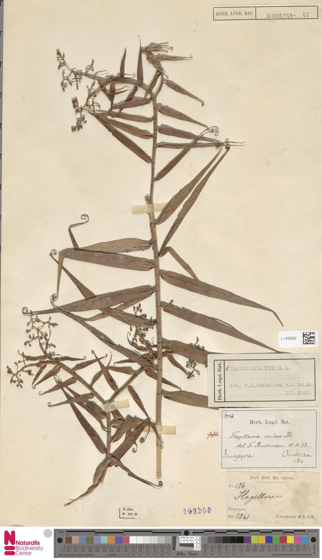 L.1423552 | Flagellaria indica L.
