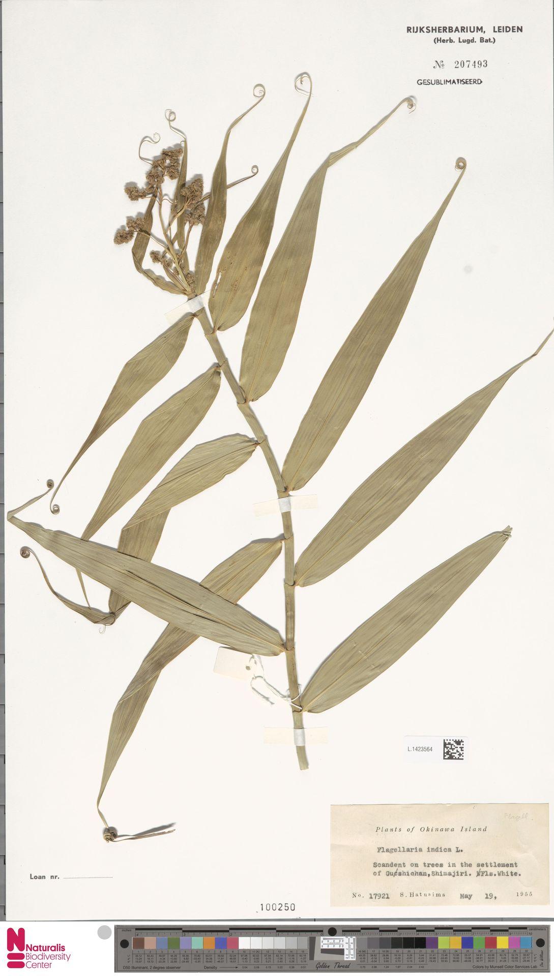 L.1423564 | Flagellaria indica L.