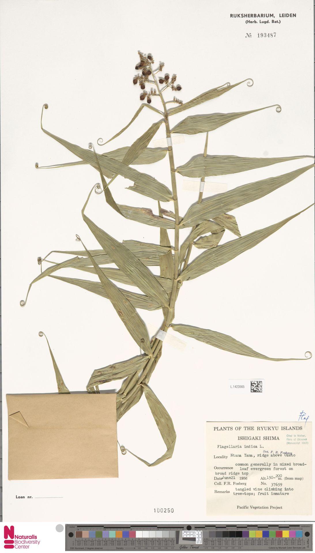 L.1423565 | Flagellaria indica L.