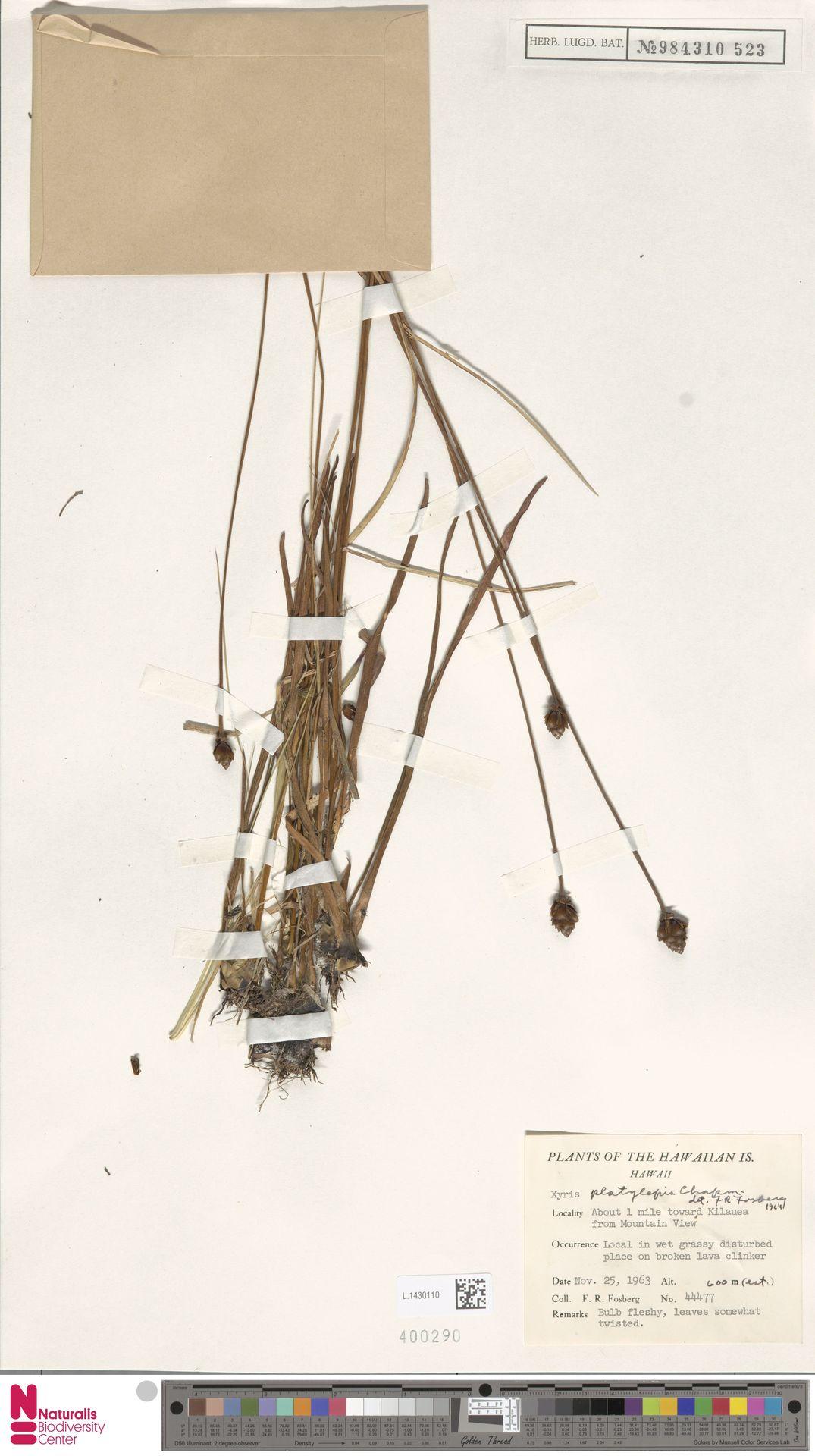 L.1430110 | Xyris platylepis Chapm.