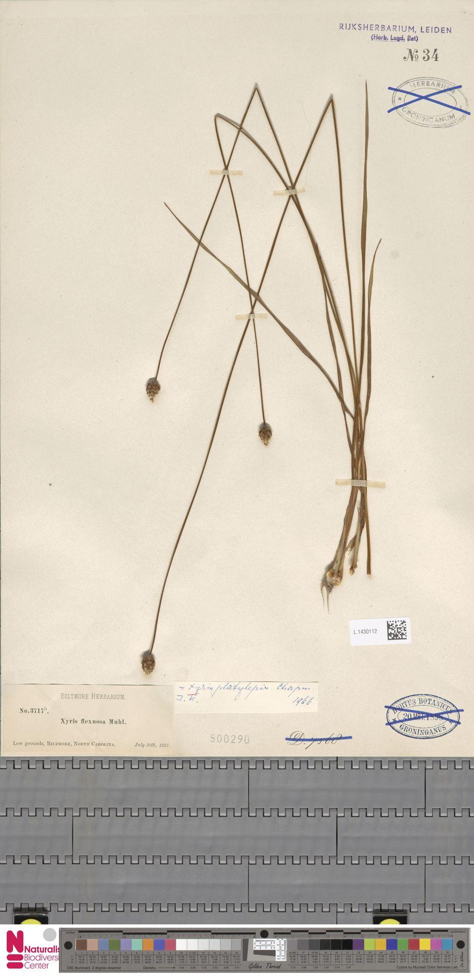 L.1430112 | Xyris platylepis Chapm.