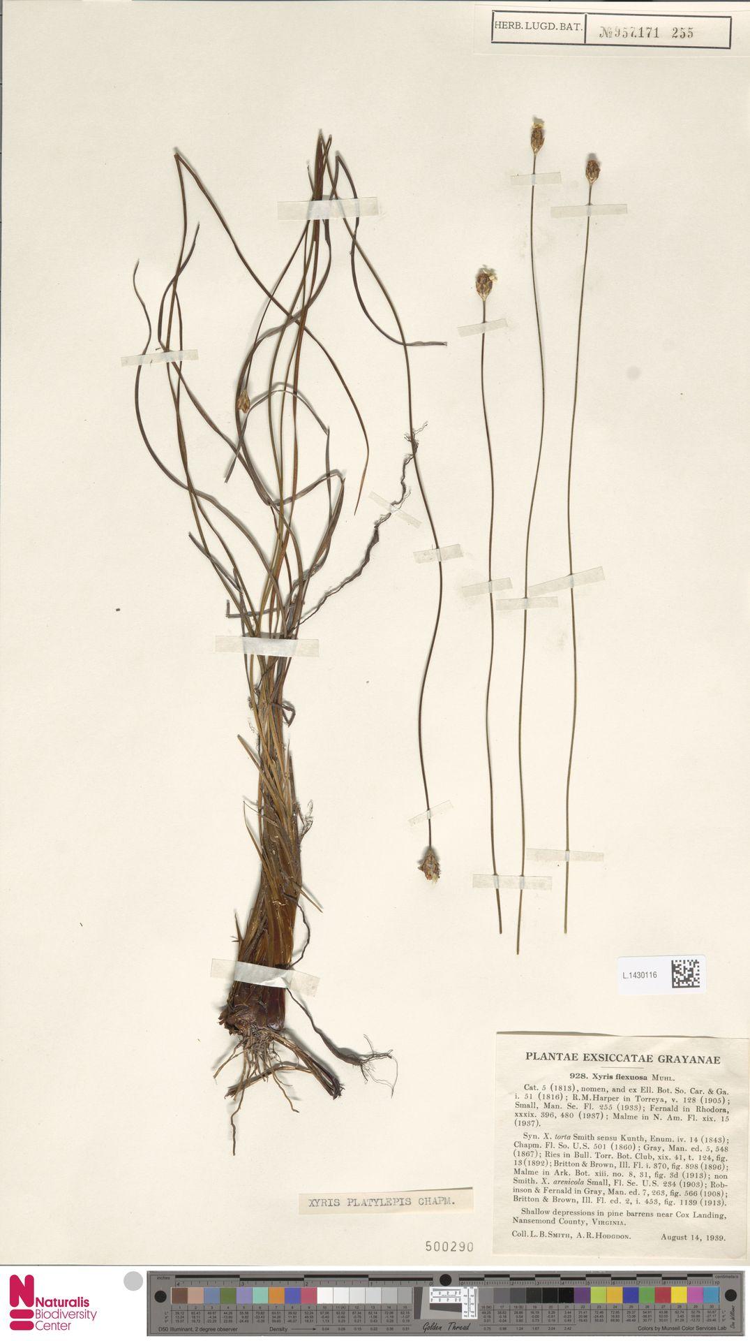 L.1430116 | Xyris platylepis Chapm.