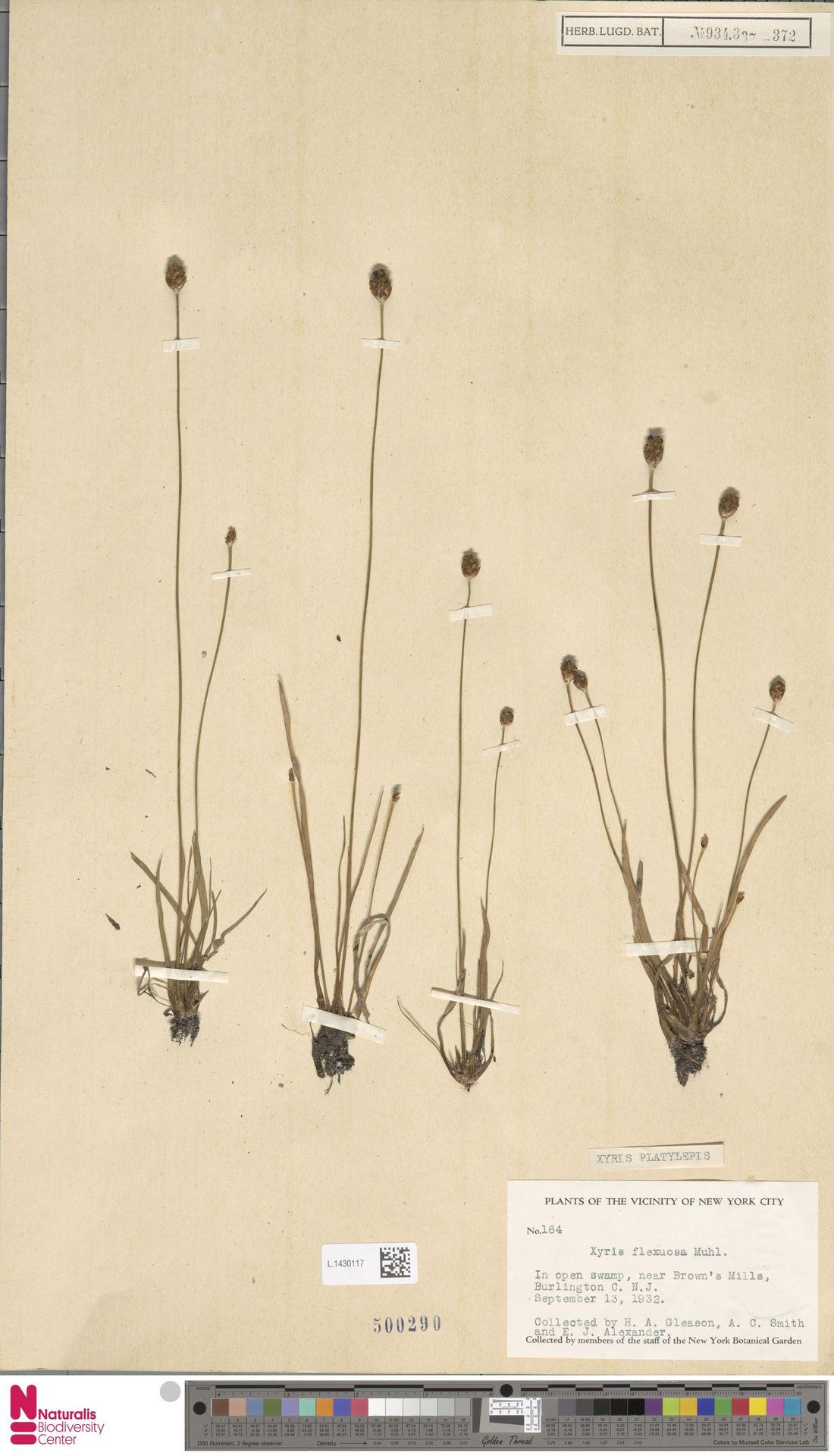 L.1430117 | Xyris platylepis Chapm.