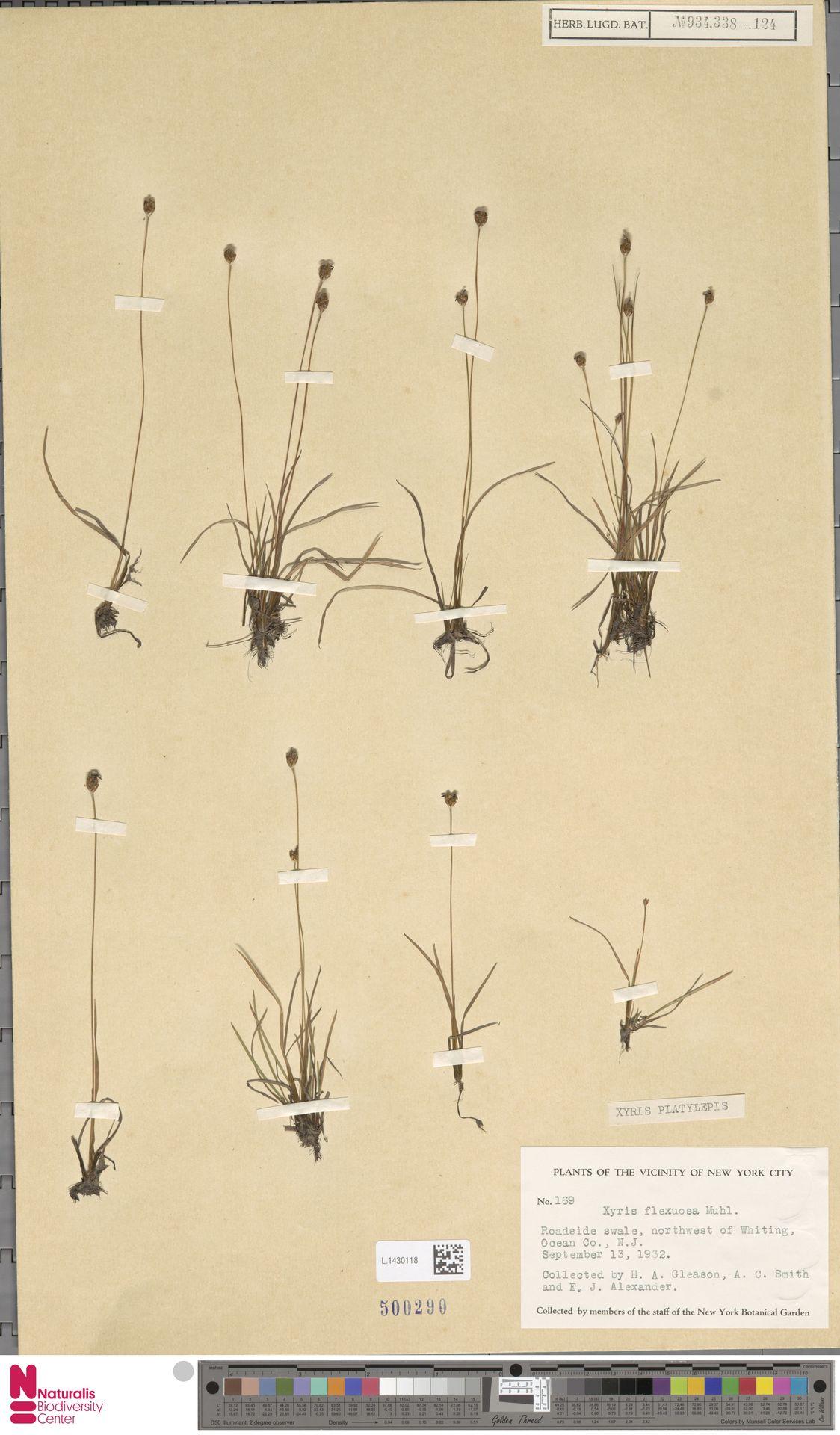 L.1430118 | Xyris platylepis Chapm.
