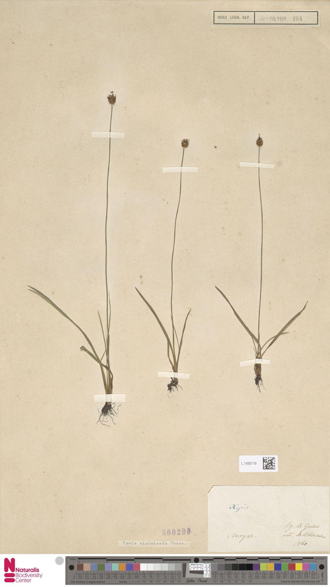 L.1430119 | Xyris platylepis Chapm.