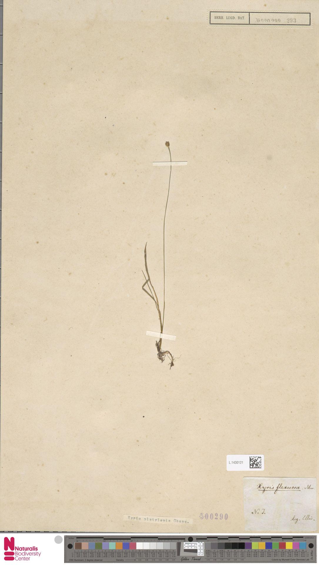 L.1430121 | Xyris platylepis Chapm.