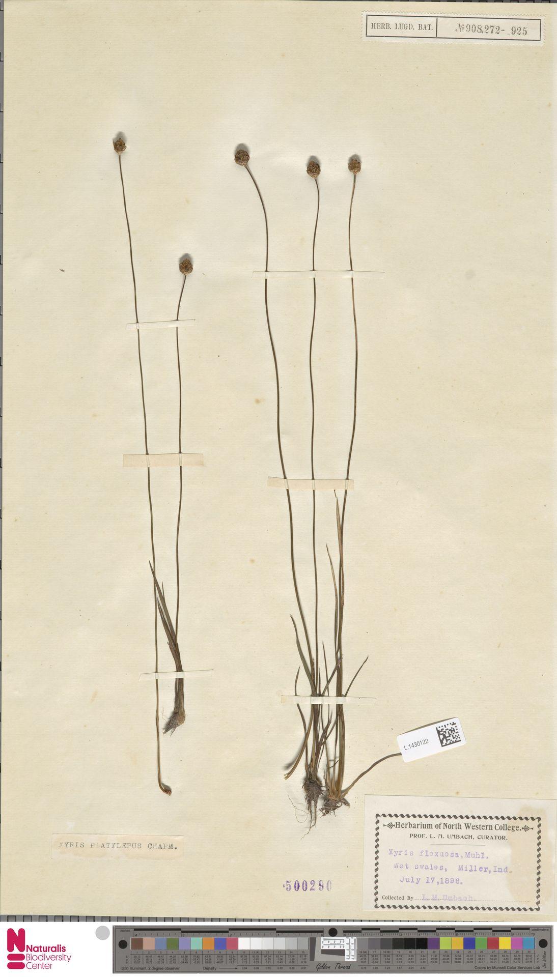 L.1430122 | Xyris platylepis Chapm.
