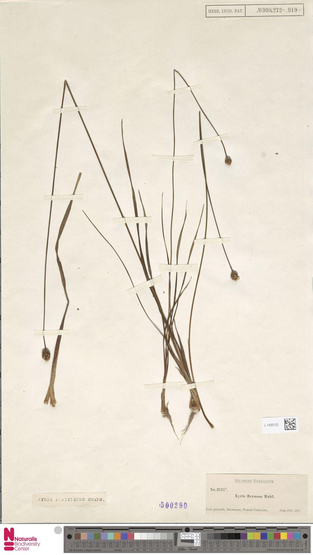 L.1430123 | Xyris platylepis Chapm.