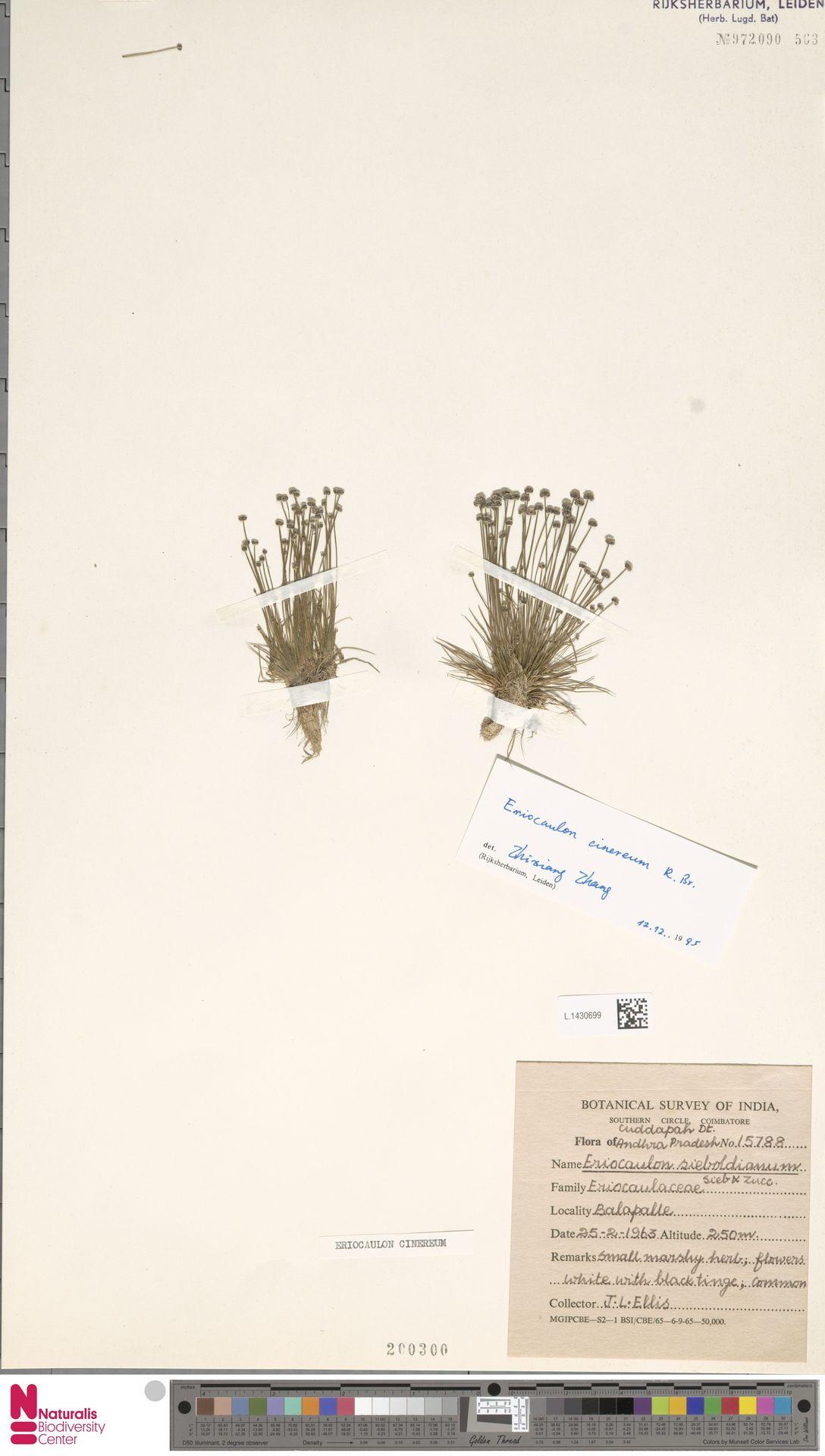 L.1430699 | Eriocaulon cinereum R.Br.