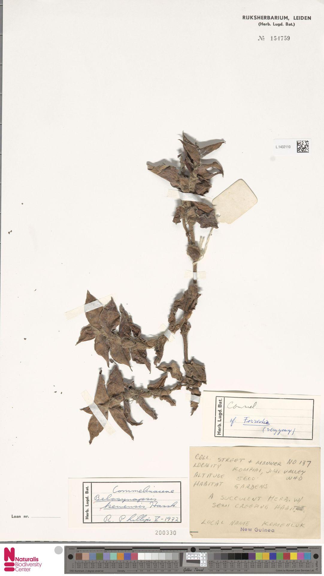 L.1432110 | Belosynapsis kewensis Hassk.