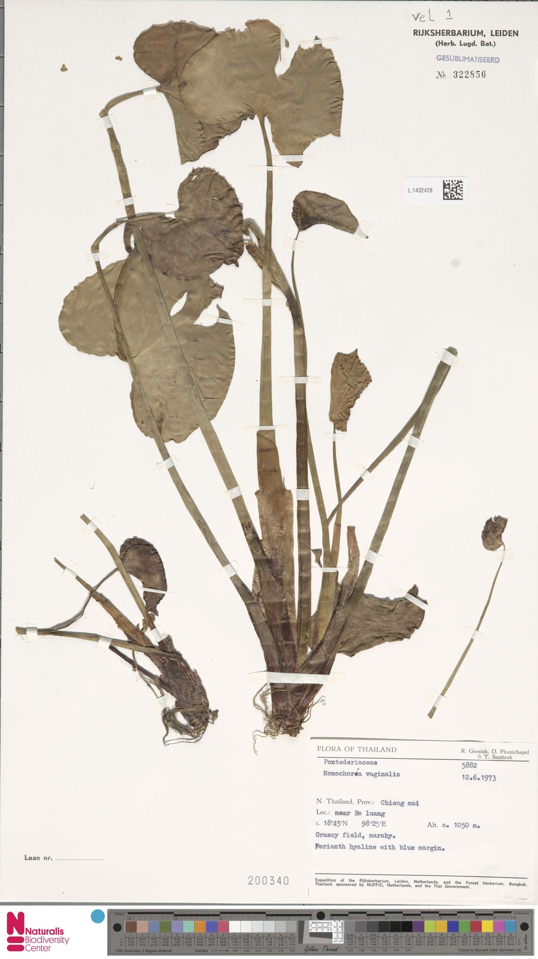 L.1432428 | Monochoria vaginalis (Burm.f.) Presley