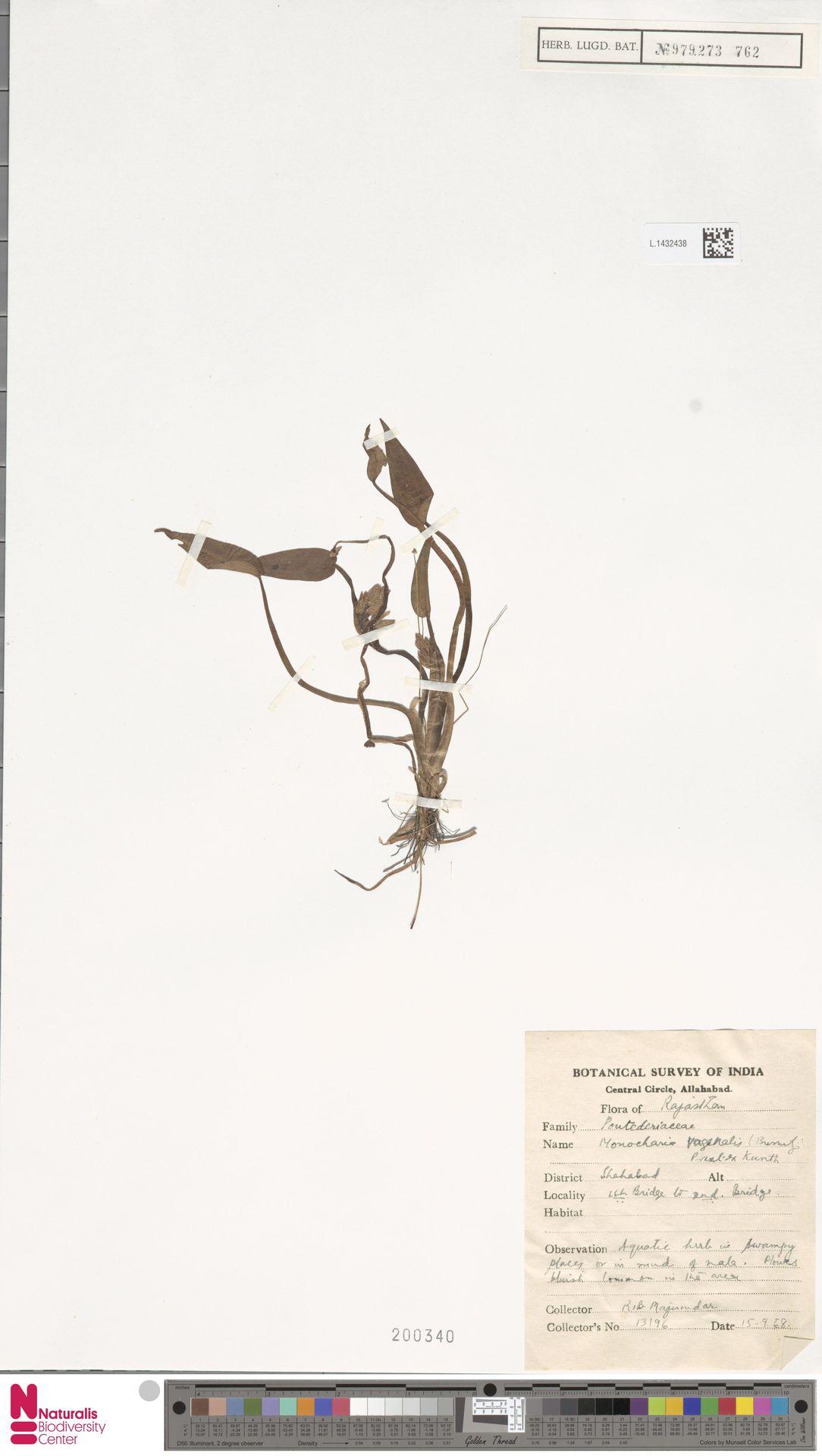 L.1432438 | Monochoria vaginalis (Burm.f.) Presley
