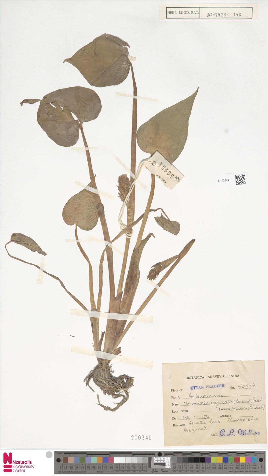 L.1432443 | Monochoria vaginalis (Burm.f.) Presley