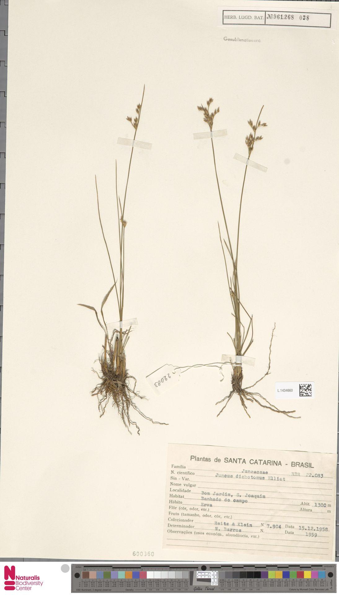 L.1434660 | Juncus dichotomus Elliott