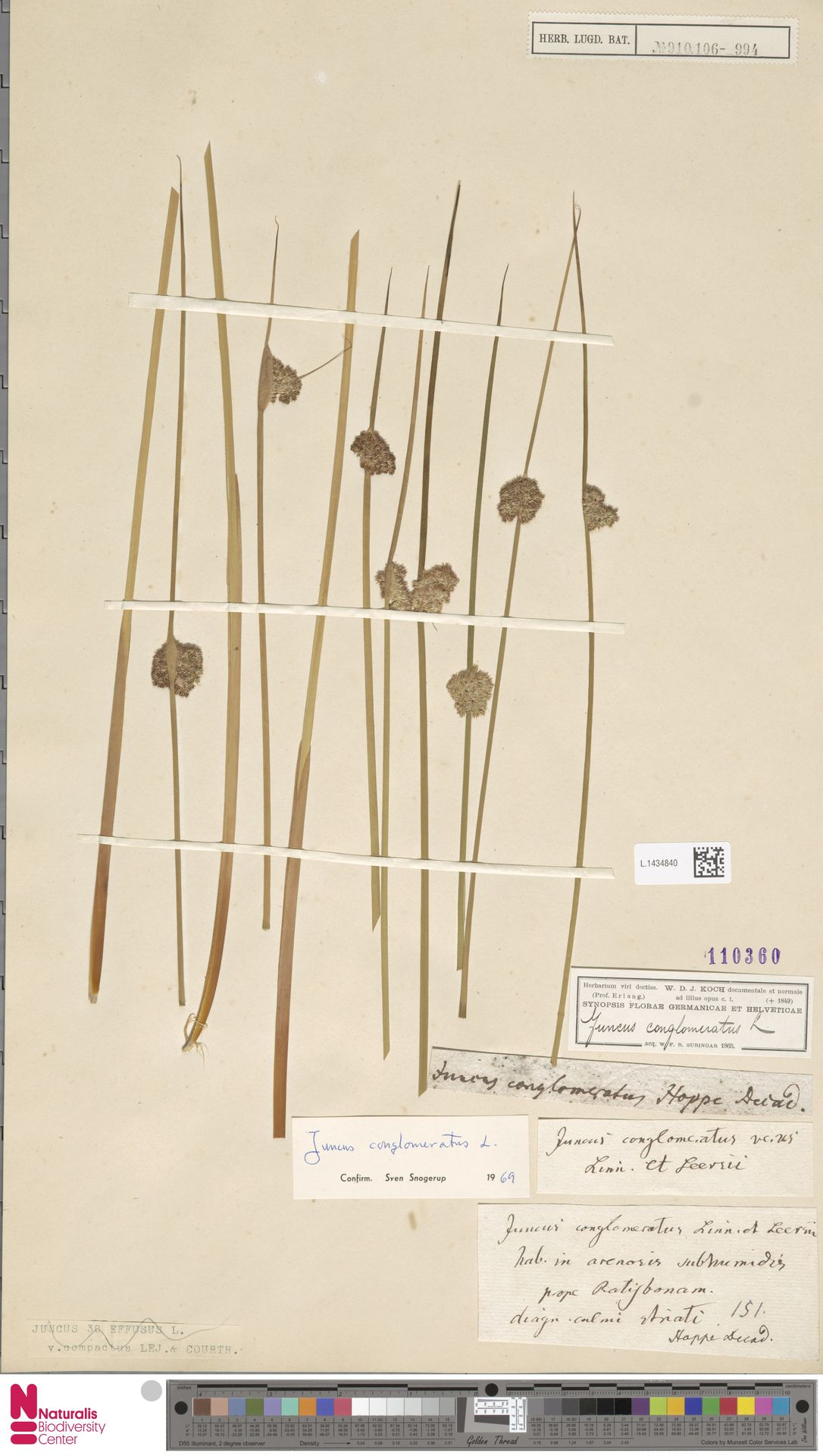 L.1434840 | Juncus conglomeratus L.