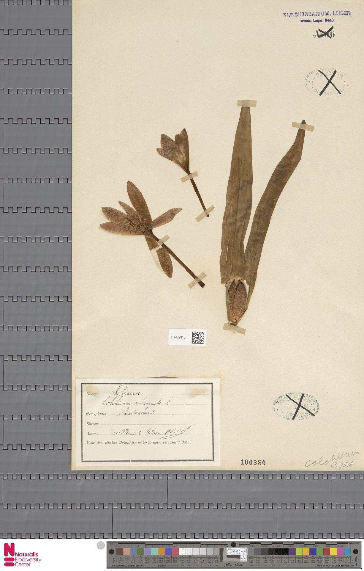 L.1439910 | Colchicum autumnale L.