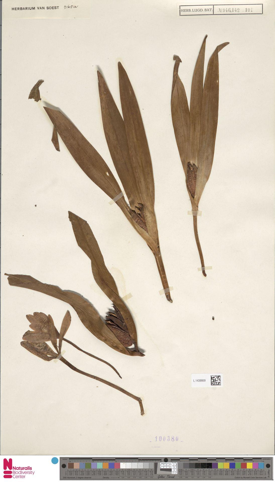 L.1439959 | Colchicum autumnale L.