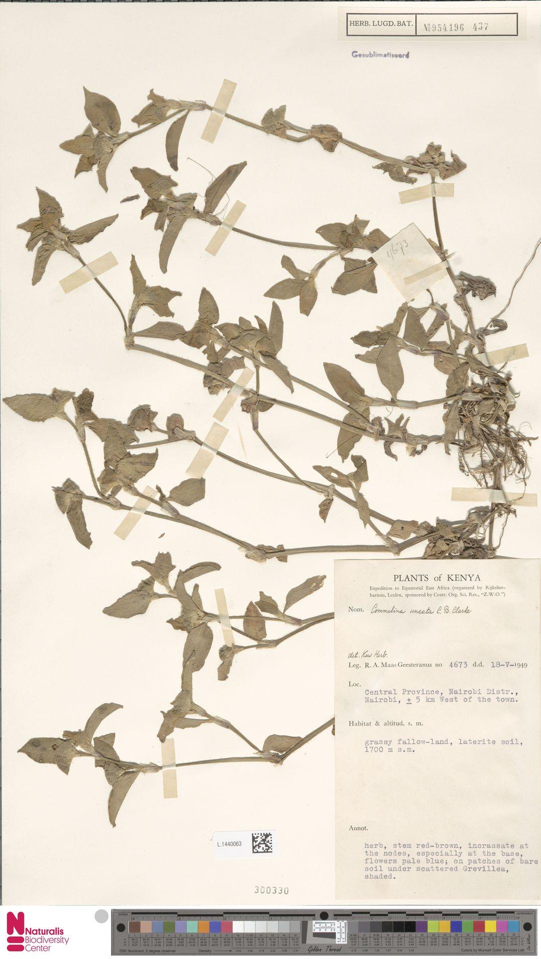 L.1440063 | Commelina uncata C.B.Clarke