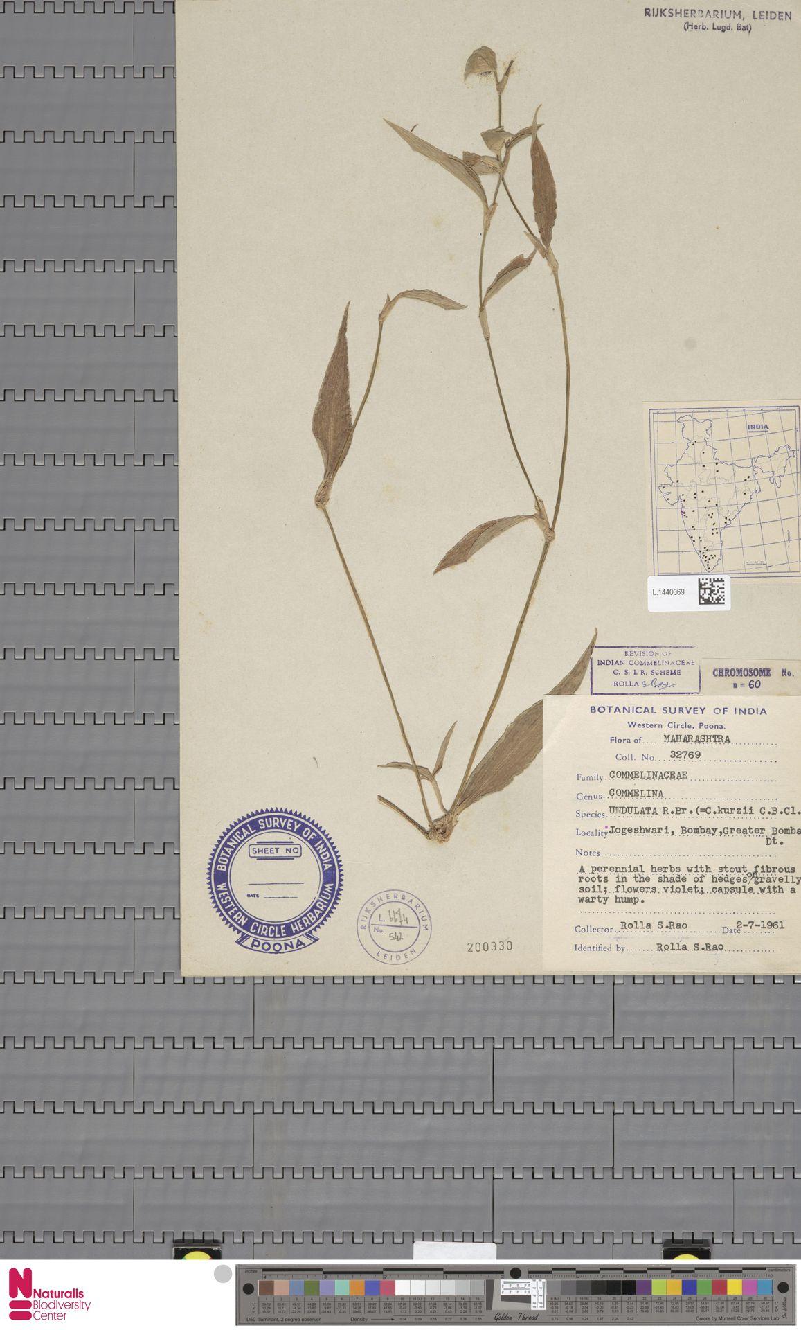 L.1440069   Commelina undulata R.Br.