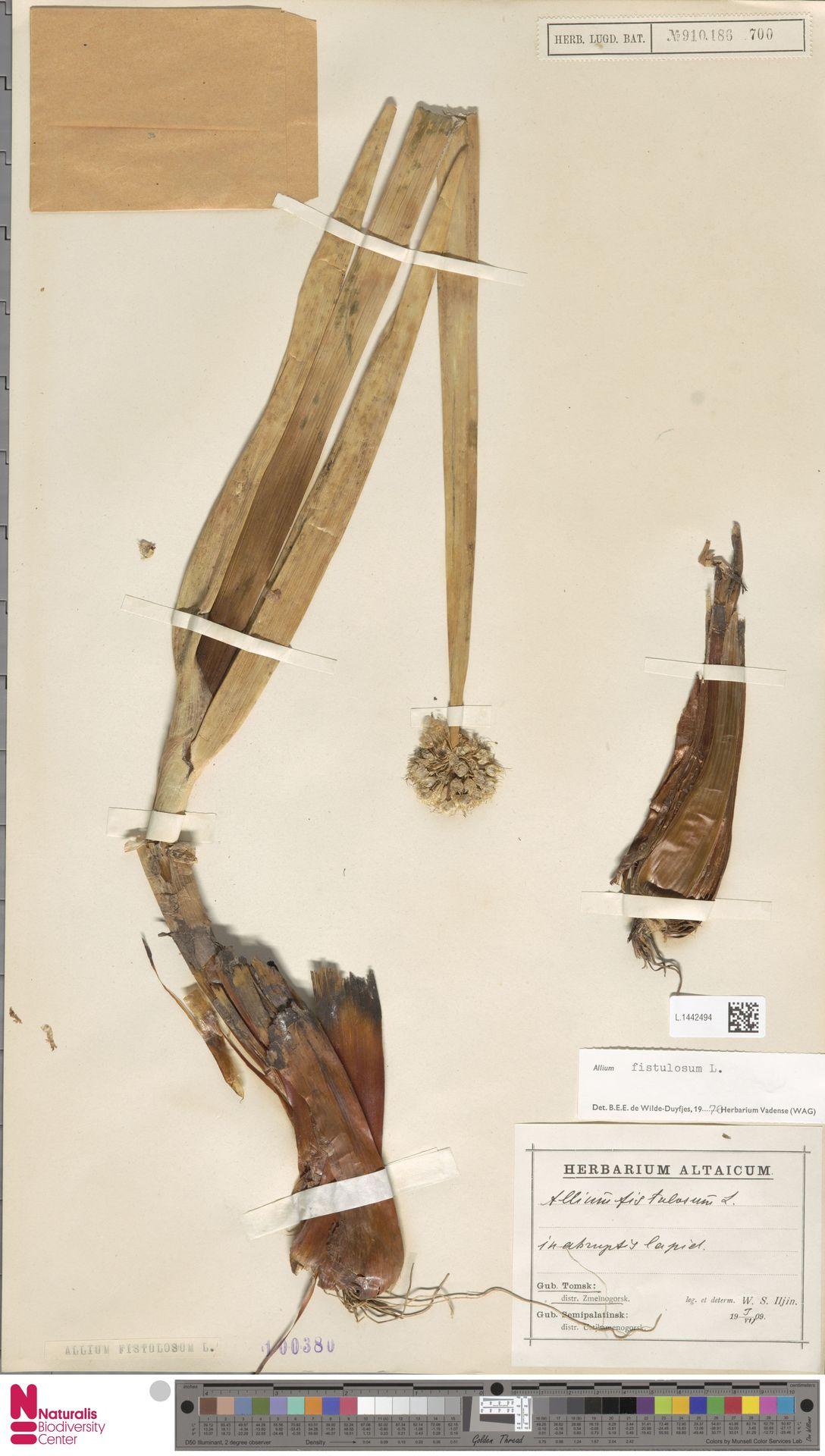 L.1442494 | Allium fistulosum L.