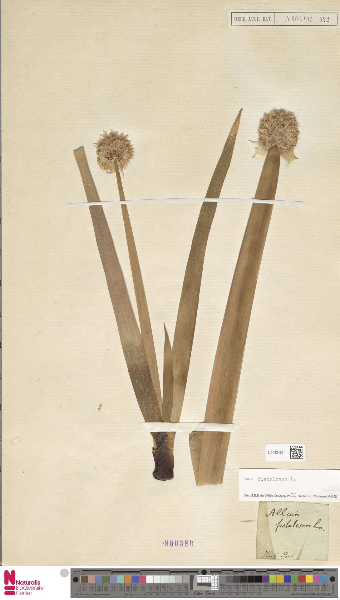 L.1442498 | Allium fistulosum L.